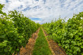 Vineyard Rows Royalty Free Stock Photo