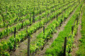 Vineyard Rows Green Royalty Free Stock Photo