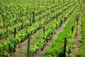 Vineyard rows green photo of italian Stock Image