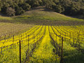 Vineyard rows in the Napa Valley Stock Images