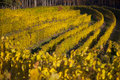 Vineyard rows in sunshine golden colored bright sunlight Stock Photography
