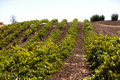Vineyard with rows of vines in the foothills Royalty Free Stock Photo