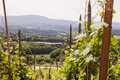 Vineyard in the sentral part of slovenia Royalty Free Stock Photo