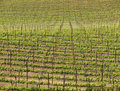 Vineyard Sloping Up Stock Photo