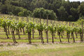 Vineyard in slovenia the sentral part of Royalty Free Stock Image