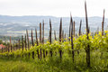 Vineyard in slovenia in spring the sentral part of Royalty Free Stock Image