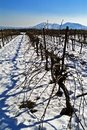 Vineyard in snow Stock Images