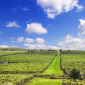 Vineyard South Australia Square Royalty Free Stock Images
