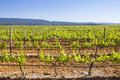 Vineyard in the south of france Royalty Free Stock Photography