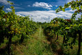 A vineyard south moravia czech republic Royalty Free Stock Photography