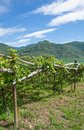 Vineyard south tyrolean wine route italy traditional growing at near lake caldaro trentino alto adige Stock Image