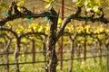 Vineyard in Spring Royalty Free Stock Image