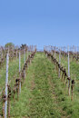 Vineyard in spring Royalty Free Stock Image