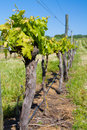 Vineyard in spring with blue sky Stock Photos