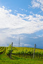 Vineyard in spring in italy with cloudy sky Royalty Free Stock Images