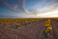 Vineyard on a spring sunset la rioja spain Royalty Free Stock Image