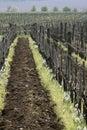 Vineyard in spring time Royalty Free Stock Photo