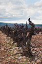 Vineyard in spring vines pruned la rioja spain Royalty Free Stock Image