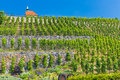 Vineyard of st.Klara near Chateau Troja, Prague, Czech Republic Royalty Free Stock Photo