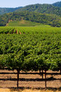 Vineyard in summer Stock Photo