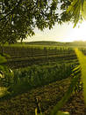 Vineyard Sunrise Royalty Free Stock Photos