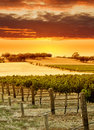 Vineyard Sunset Stock Photography
