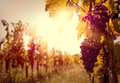 Vineyard at sunset in autumn harvest Stock Photo