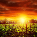 Vineyard in sunset bright yellow light dramatic skyscape autumnal nature agricultural industry grape produce viticulture concept Stock Photography