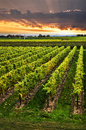Vineyard at sunset in niagara peninsula ontario canada Stock Images
