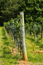 Vineyard tellis and grape vine on north carolina Royalty Free Stock Photo