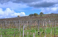 Vineyard in Tokaj Royalty Free Stock Photo