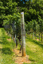 Vineyard Trellis and Grape Vine Royalty Free Stock Photo
