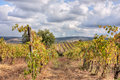 Vineyard in Tuscany Stock Photography