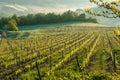 Vineyard in Tuscany Royalty Free Stock Photo