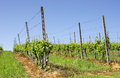Vineyard under a blue sky perspective view of Royalty Free Stock Photos