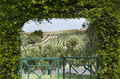 Vineyard view through arbor a of olive trees and a grape a heavily vine covered Royalty Free Stock Image