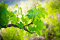 Vineyard view of a branch of a Stock Images