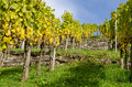 Vineyard with vine grapes in autumn Royalty Free Stock Images