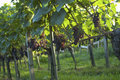 Vineyard Weil am Rhein Germany Stock Image