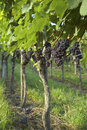 Vineyard Weil am Rhein Germany Royalty Free Stock Photography