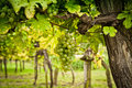 Vineyard with White Grapes Royalty Free Stock Photo