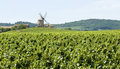 Vineyard, with windmill from Beaujolais. Royalty Free Stock Photo