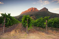 Vineyards around stellenbosch western cape south africa afric sunset over a vineyard with table mountain in the background Royalty Free Stock Photo