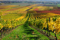Vineyards in autumn colours Stock Image