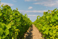 Vineyards in bordeaux, very shallow focus Stock Image