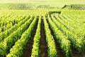 Vineyards, Burgundy Royalty Free Stock Photo