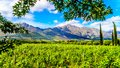 Vineyards of the Cape Winelands in the Franschhoek Valley in the Western Cape of South Africa, amidst the surrounding Drakenstein Royalty Free Stock Photo