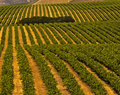Vineyards, Central Coast California Royalty Free Stock Image