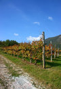 Vineyards in fall, vertical Royalty Free Stock Photo