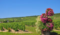 Vineyards in the french champagne region Stock Photography